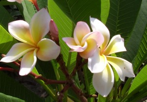 Franjipani Blüte